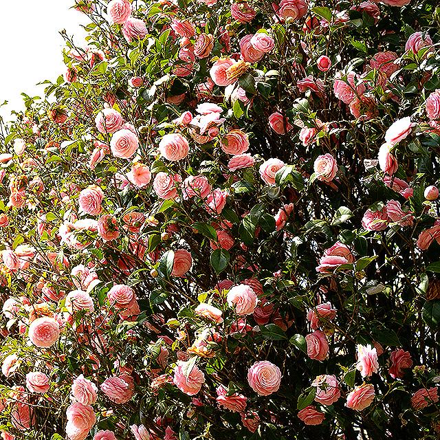 komazawapark_flower.jpg