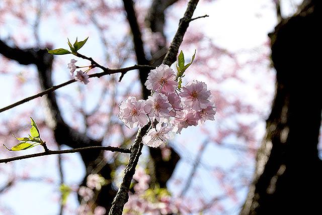 moa_sakura_up.jpg