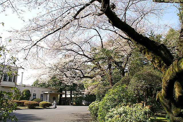 mtam_out_sakura.jpg