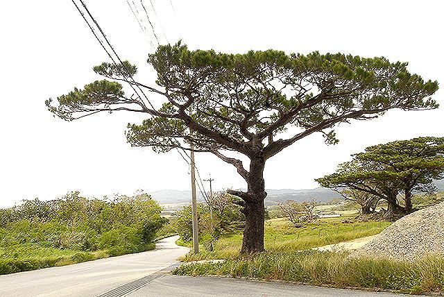 okinawa_tree.jpg