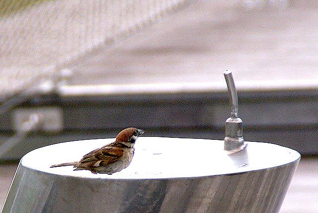 oosanbashi_sparrow.jpg