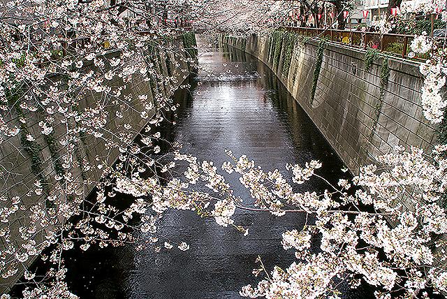 sakura09_megurogawa2.jpg