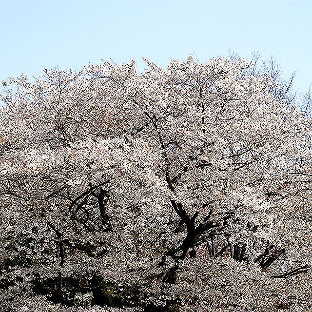 sakura_komazawa1.jpg