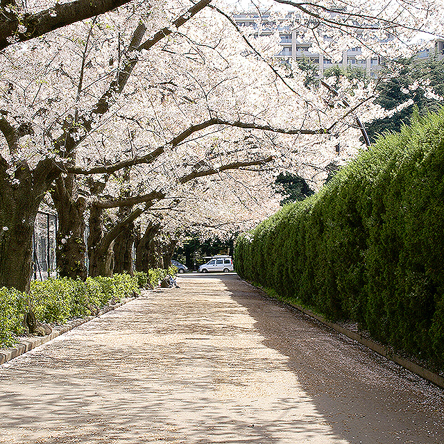 sakura_komazawa2.jpg