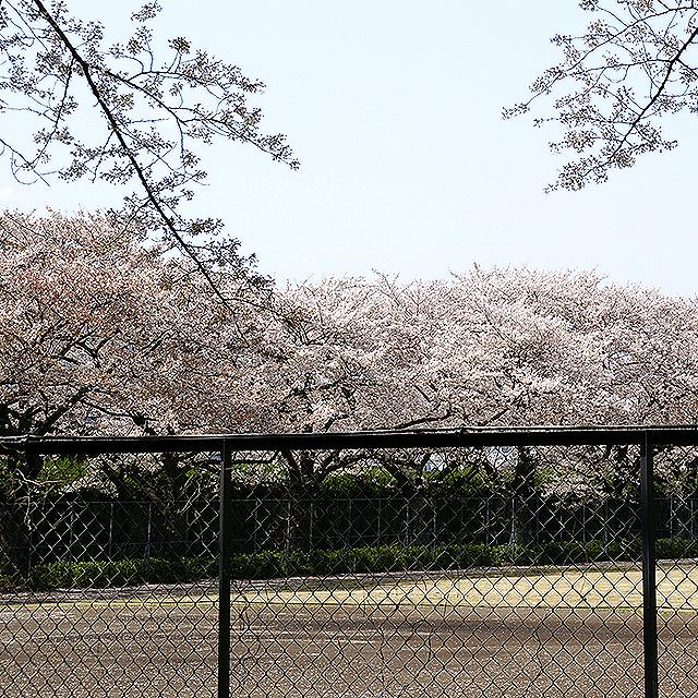 sakura_komazawa3.jpg