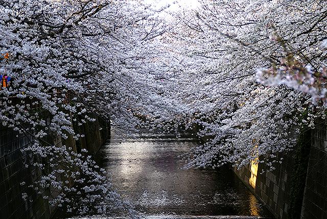 sakura_megurogawa.jpg
