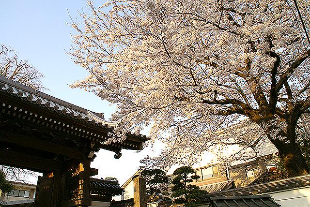 sakura_toritsudai_temple.jpg