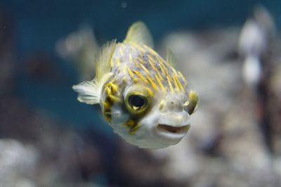 southernglobefish.jpg