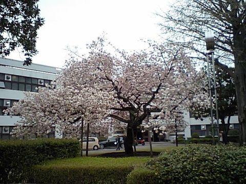 tamabi_sakura10.jpg