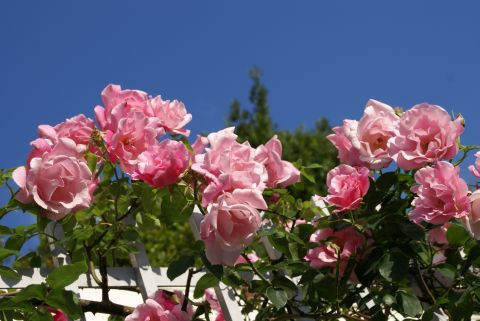 todoroki_pinkflower.jpg