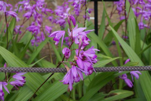 todoroki_violetflower2.jpg
