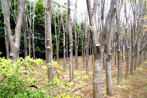 toyocho_takenaka_trees.jpg