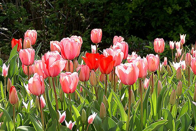 vangi_tulip_red.jpg