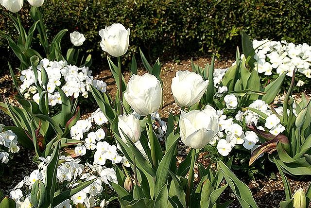 vangi_tulip_white.jpg