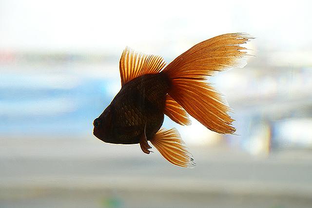 yumenoshima_marina_goldfish.jpg