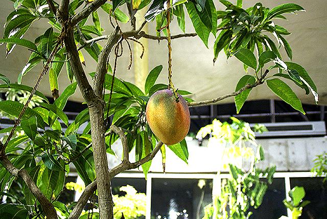 yumenoshimaplants_mango.jpg