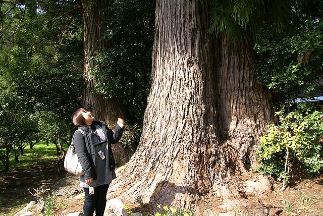 ecoasuumajimura_yanasesugi_root.jpg