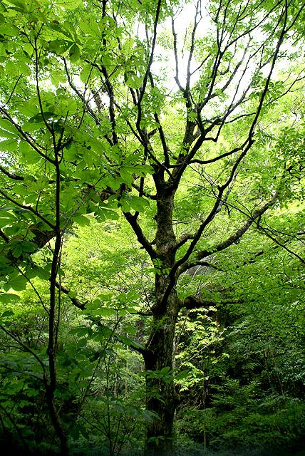 geopark_sougawa_tree.jpg
