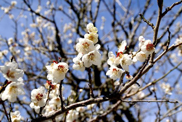 iwakuni_tosenji_garyunoume_s.jpg