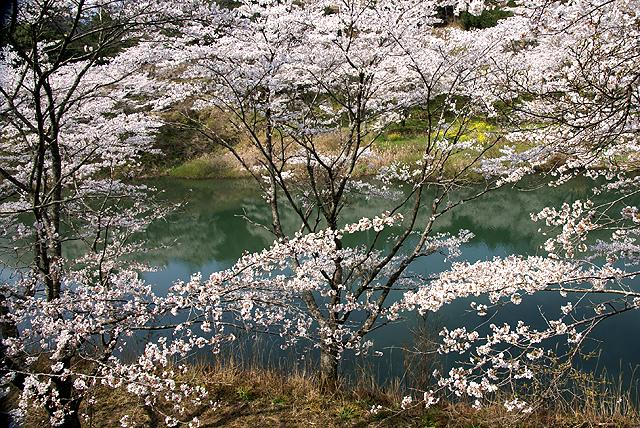 katsuragawa_sakura_water.jpg