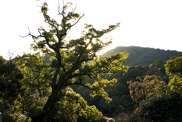 konpira_tree.jpg