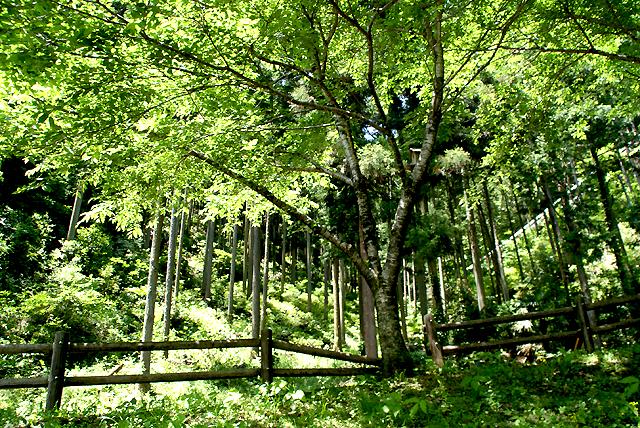mitaki_tree.jpg