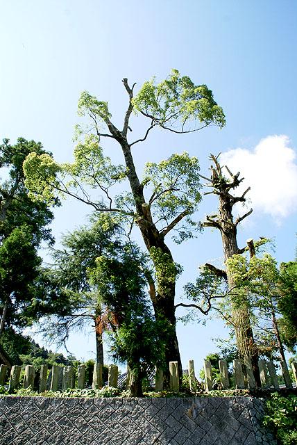 saredani_oyakushi_tree.jpg