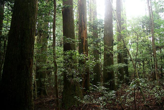 yanase_senbonyama_forest1.jpg