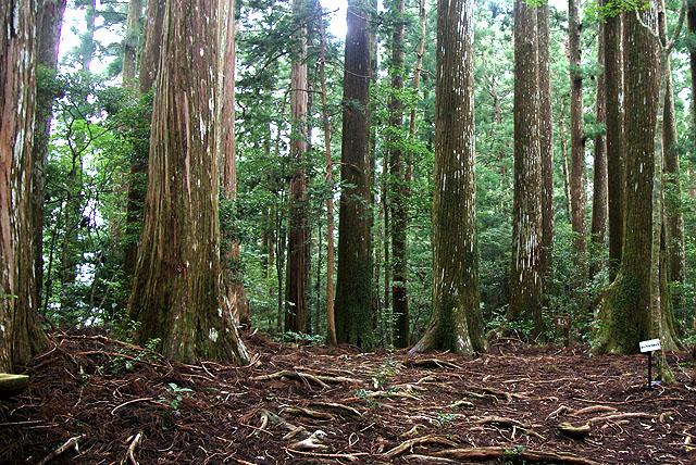 yanase_senbonyama_forest4.jpg