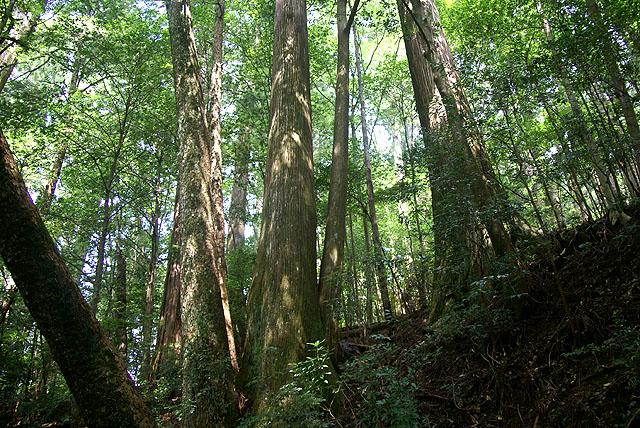 yanase_senbonyama_forest6.jpg