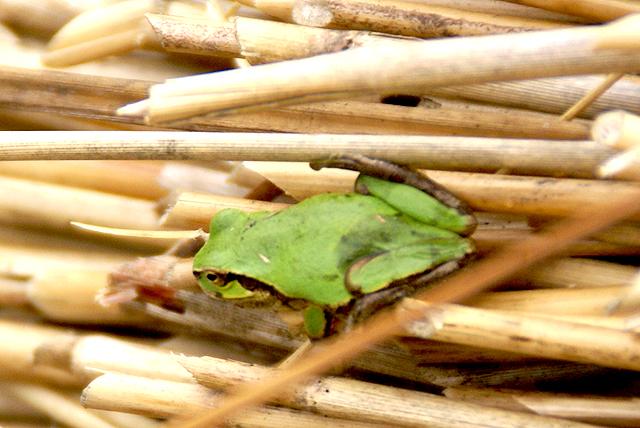 yusukawa_warafuki_frog.jpg